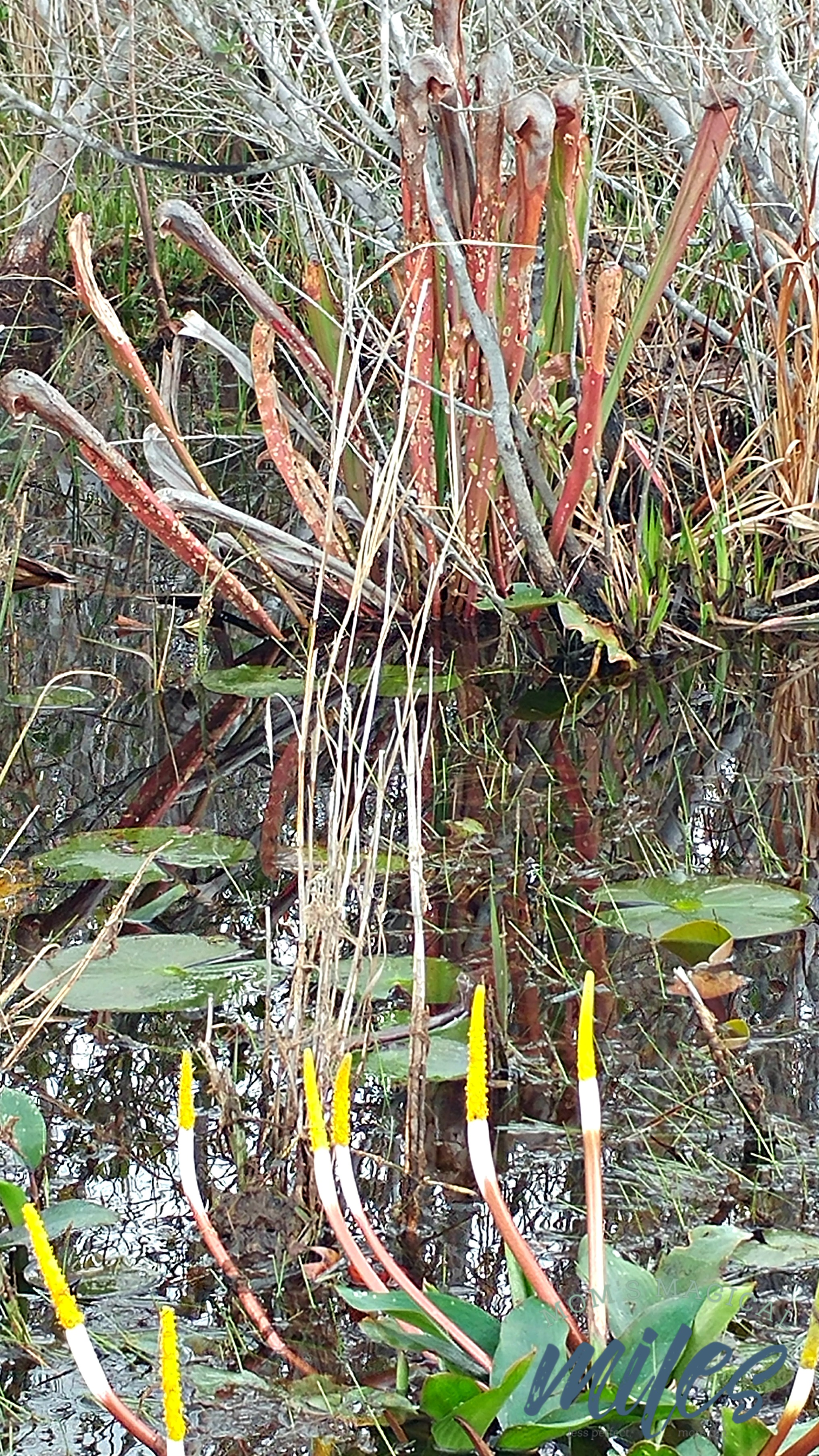 In the middle of the Okefenokee Swamp is an abundant and beautiful plant life.