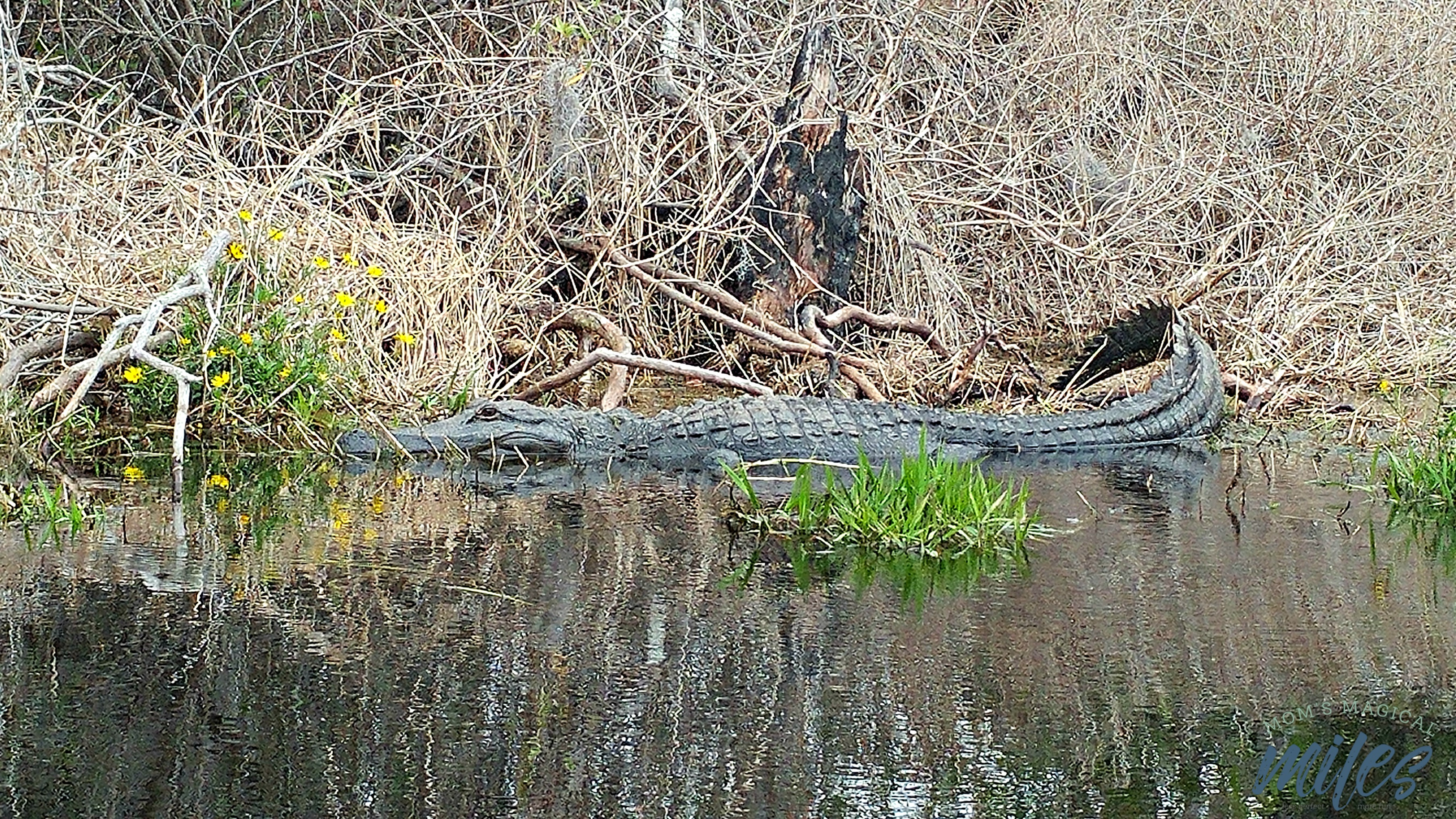 If you need to see gators close up and personal, the Okefenokee Swamp is THE place to be! Take a boat tour to make the most of it.