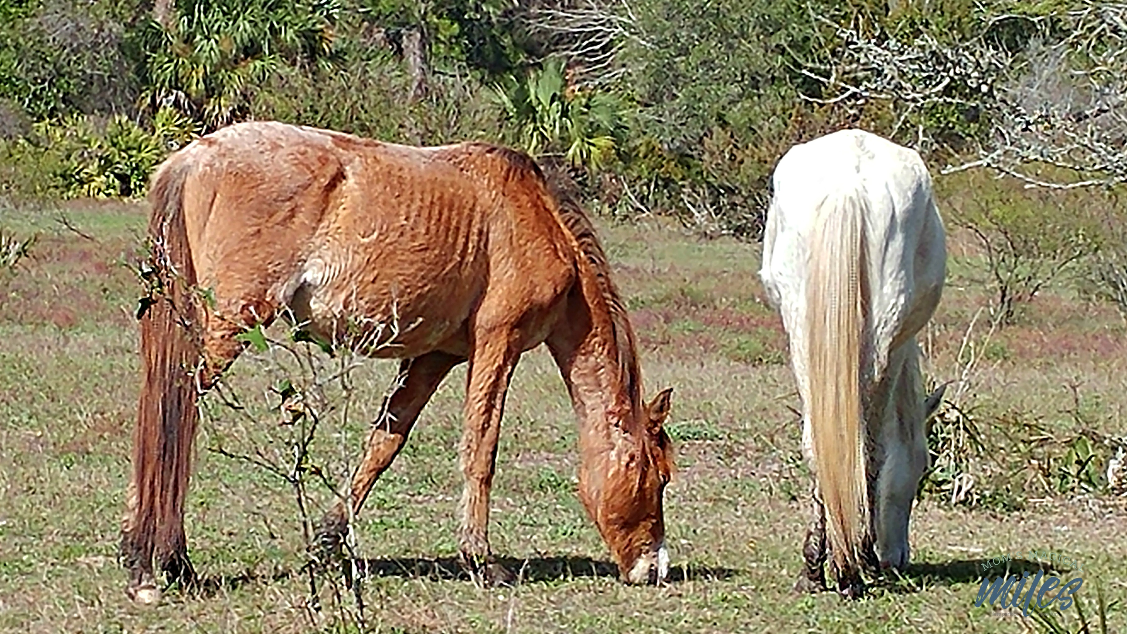 Cumberland Island on the Georgia coast has the only herd of feral horses that is not managed in any way.