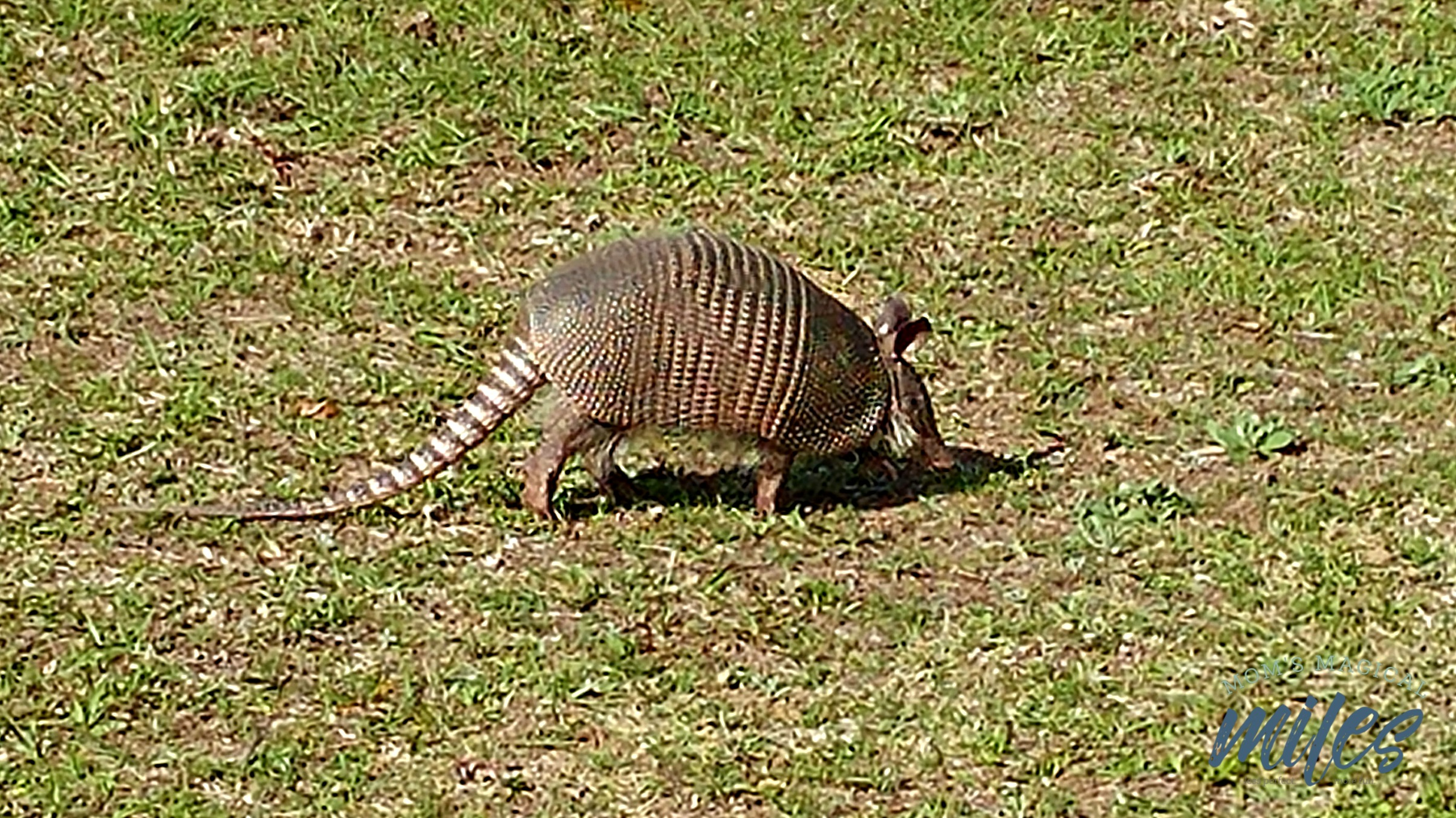 An unexpected resident on Cumberland Island, armadillos are plentiful.